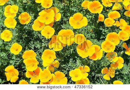California Poppy Flowers (eschscholzia Californica)