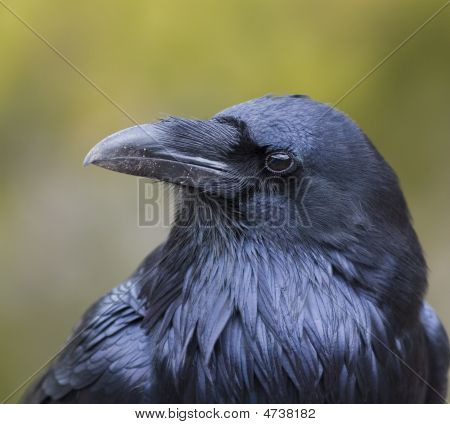 Raven Bird Profile