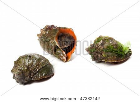 Three Rapana Isolated On White Background