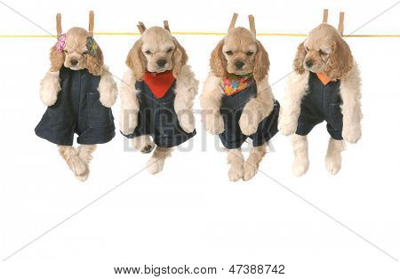 litter of puppies - four american cocker spaniel puppies hanging on a clothesline - 7 weeks old