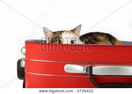 Spotted Cat In The Suitcase, Isolated