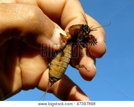 mole cricket in human hand poster
