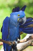 the hyacinth macaw (anodorhynchus hyacinthinus) is a handsome bird, deep cobalt blue in colour, with a golden eye ring and bill base. it is found in brazil and easternmost bolivia, where it lives mainly on seasonally flooded grassland. poster