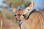 A Kudu Antelope calf (youngster) looks into the camera and melts the heart with an adorable and innocent stare.  Photographed in Namibia, Africa. poster