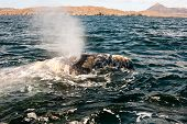 Close up of a whale Blowing Water at Magdalena Bay Mexico poster