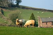 two Oxford Down sheep in a rural setting one grazing while the other looks up with farm house behind in the distance. poster