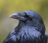 The profile of the rather large bird; the Raven. These creatures are beautiful but sometimes looks can be deceiving for they can adapt to a place easily becoming scavengers especially when people are present. poster