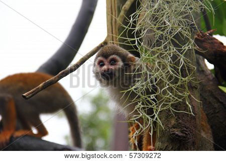 Common Squirrel Monkey Peeking Out Of Its Hide