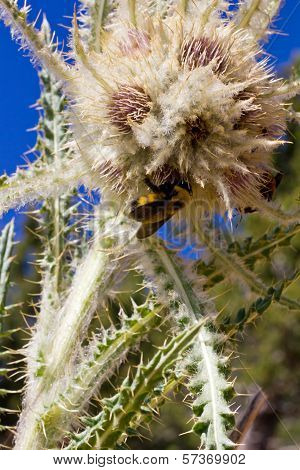 Bumble Bee Pollinates Flower In Colorado Mountains Summer