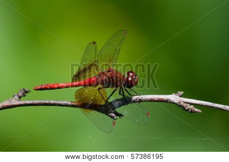 Band-winged Meadowhawk dragonfly perched on a branch. poster