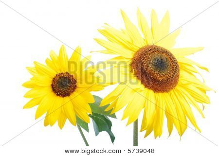 Beautiful Yellow Flower, Colorful Sunflower Outdoor