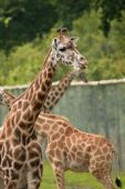 three captive giraffes surrounded by high fencing poster