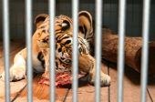 tiger in captivity. wild animal in cage eat meat poster