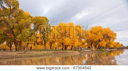 The autumn in Populus diversifolia