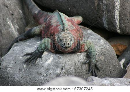 Red and Green Marine Iguana