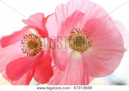 Two Shirley Poppies