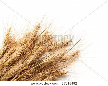 Spikelets Of Wheat  Isolated On White Background