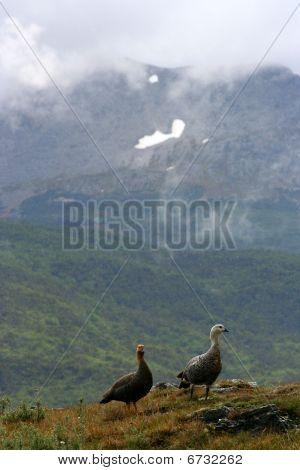 Ashyheaded Geese