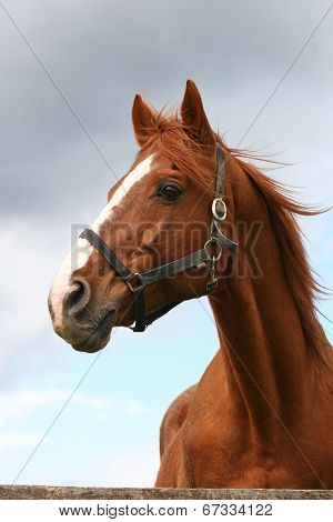 Head shot of a chestnut horse.