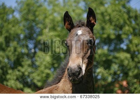 Head-shot of a chetsnut foal