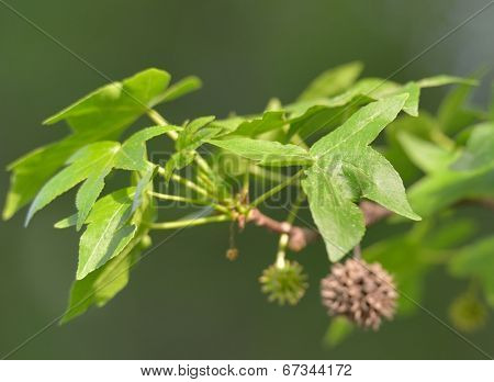 Branch of Anatolian sweetgum tree. Selective focus on the leaf