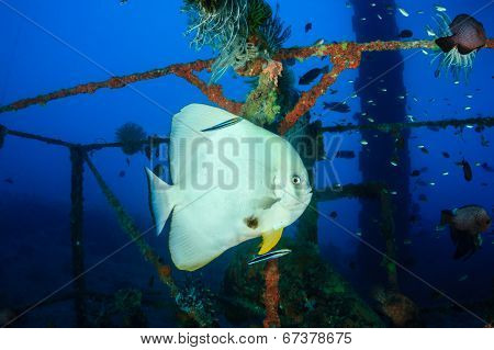 Batfish being cleaned by cleaner wrasse on an underwater wreck poster