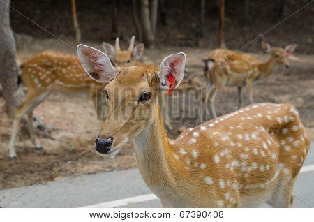 Chital ,Deer In Zoo