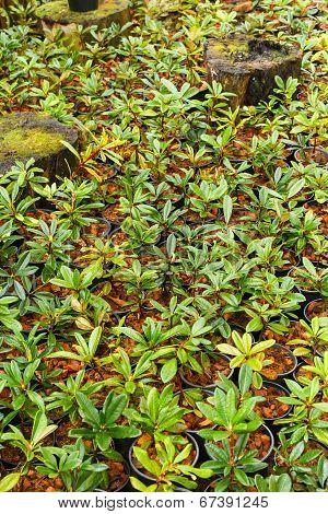 Flower Azalea Sprout