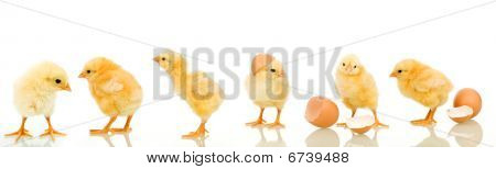 Lots of baby chicken in different positions - isolated with reflection poster