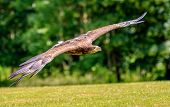Large Sea Eagle flying low over a grassy field poster