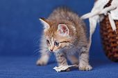 Young striped kitten stay on blue background poster