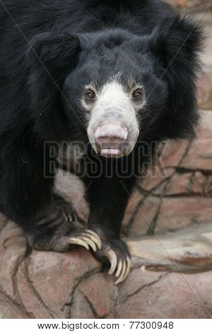 Sloth bear (Melursus ursinus), also known as Stickney bear.