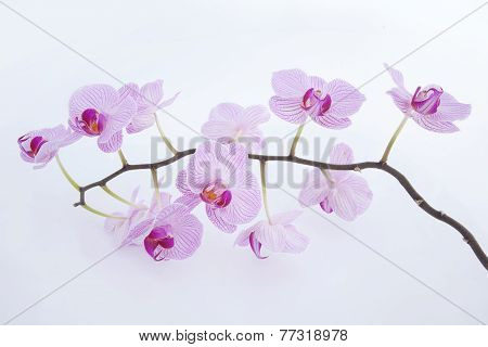 Pink orchid on a white blackbackground