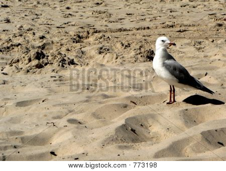 A bird on a Gold Coast beach. poster