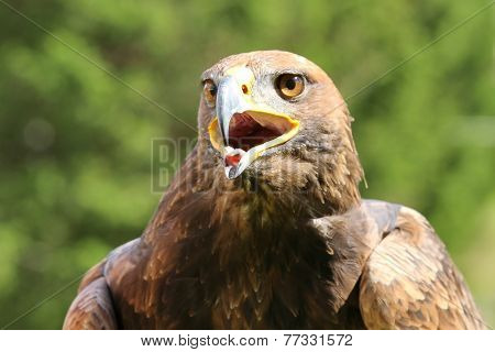 Angry Great Eagle With Open Beak And Tongue Out