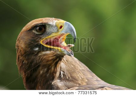Eagle With Open Beak And Tongue Out