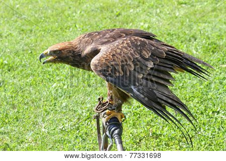 Eagle Over The Trestle Of Falconer