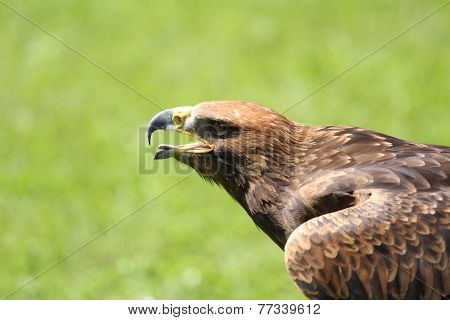 angry Eagle with open beak and tongue out poster