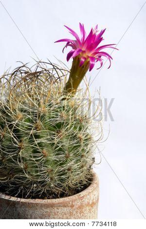 Cactus thorns.