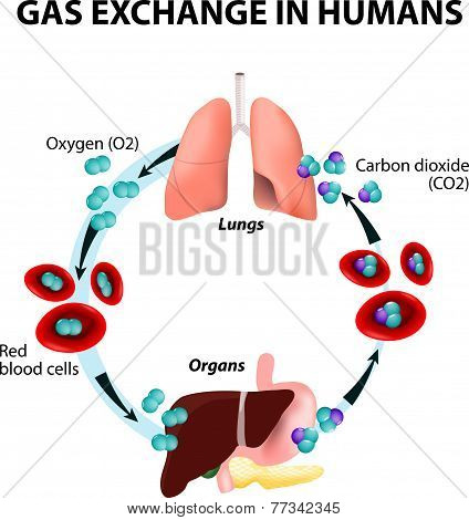 Gas exchange in humans. Path of Red Blood Cells. Oxygen transport cycle. Both oxygen and carbon dioxide are transported around the body in the blood: from the lungs to the organs and again to the lungs. poster