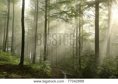 Sunrise in the spring beech forest