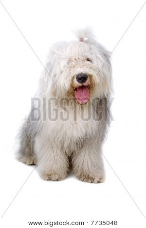 old english sheepdog, bobtail isolated on a white background poster