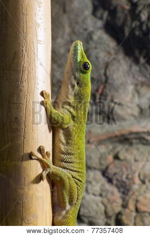 Koch's giant day gecko (Phelsuma madagascariensis kochi) is on a bamboo poster