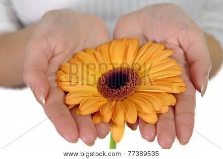 Woman's Hands Holding Orange Flower