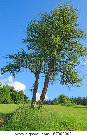 Skew Tree In The Field