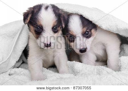 Puppies Mestizo In Blanket