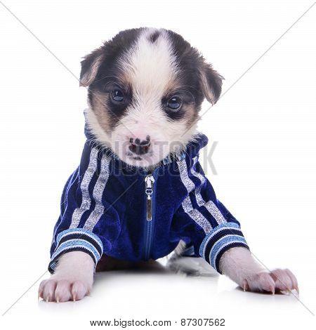 Clothing Puppy Mestizo Isolated