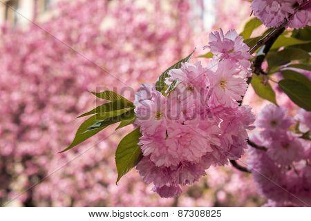 Pink Flowers Of Sakura Branches