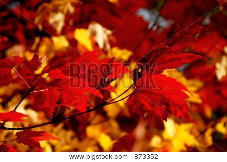 Red Maple Leaves