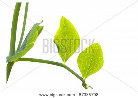 Leaves Of Snow Peas Against Day